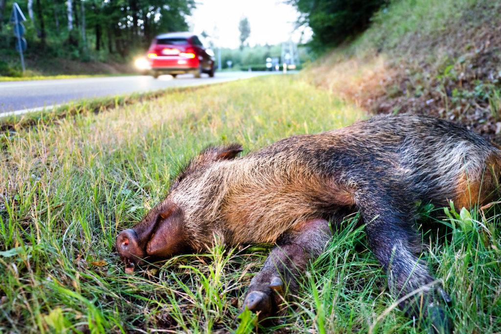 Vorsicht, Wildwechsel! So verhalten Sie sich nach einem Wildunfall.